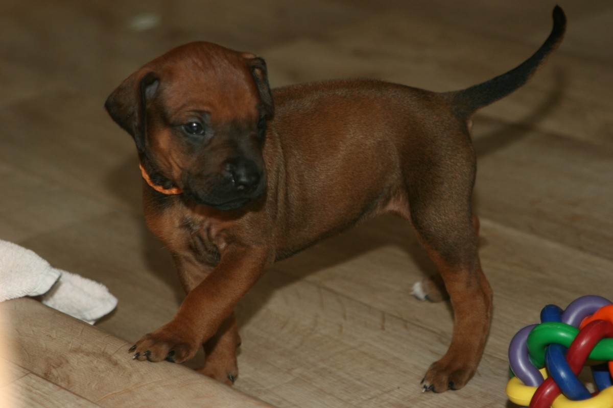 Happy Birthday Lubaya | KASUNGU Rhodesian Ridgeback Kennel | Essen