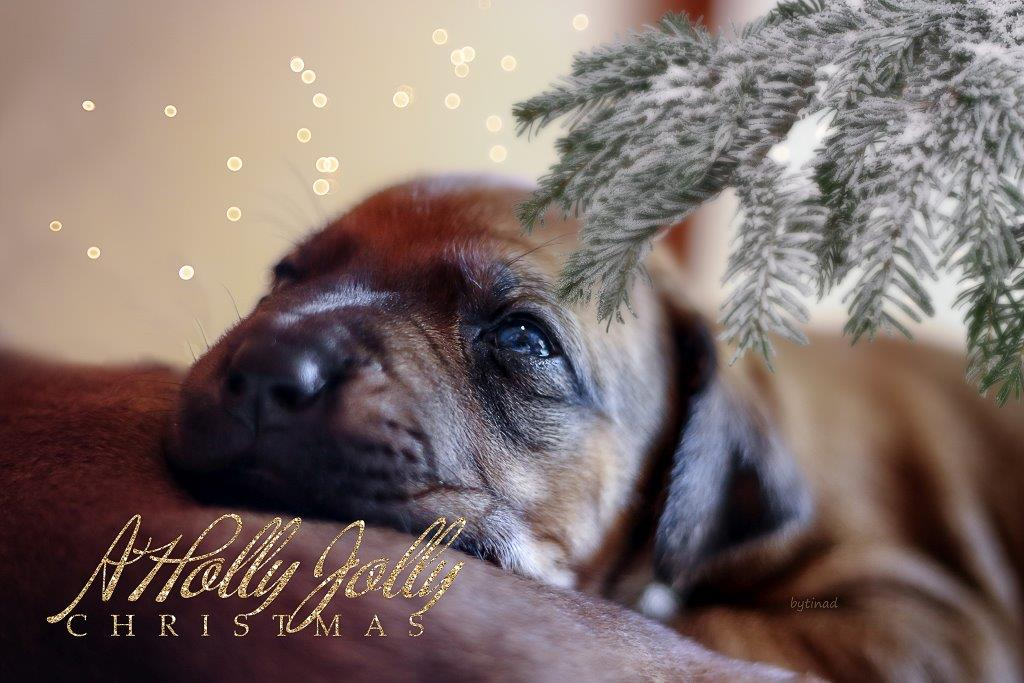 A Holly Jolly Christmas | Kasungu Ridgeback Kennel | Essen